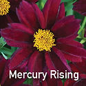 Coreopsis Mercury Rising - Tickseed