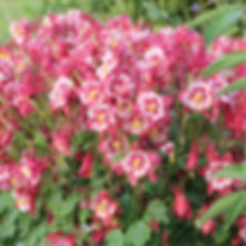 Aquilegia Songbird Cardinal - Columbine.