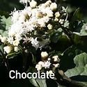 Eupatorium r. Chocolate - Joe Pye