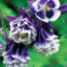 Aquilegia Double Pleat Blackberry - Colu