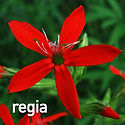 Silene regia - Royal Catchfly.jpeg