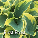 Hosta First Frost.jpeg
