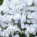 Phlox Fashionably Early Crystal - Tall P