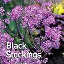 Thalictrum Black Stockings - Meadow Rue.