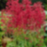 Heuchera Firefly - CoralBells