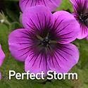 Geranium Perfect Storm - Cranesbill.jpeg