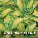 Sedum aureovariegata - Stonecrop