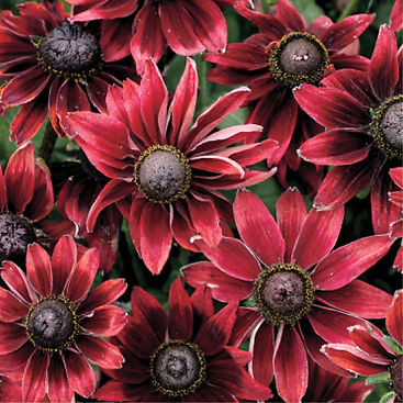 Rudbeckia Cherry Brandy - Black-Eyed Sus