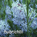 Amsonia hubrichtii - Arkansas Blue Star