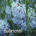 Amsonia hubrichtii - Arkansas Blue Star