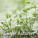 Clematis Sweet Autumn