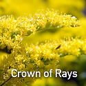 Solidago Crown of Rays - Goldenrod.