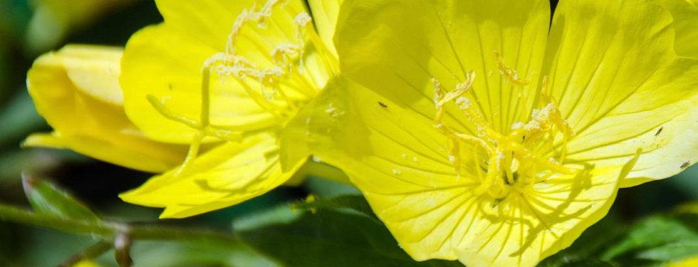 Oenothera missouriensis - Ozark Sundrop.