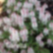 Tiarella Spring Symphony - Foam Flower