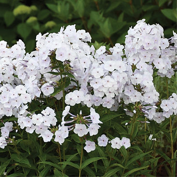 Phlox Fashionably Early Crystal - Tall G