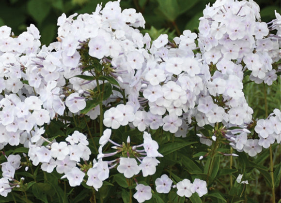 Phlox 'Fashionably Early Crystal'