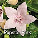 Platycodon Popstar Pink - Balloon Flower