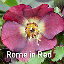 Helleborus Rome in Red - Lenten Rose.jpe
