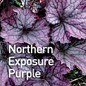 Heuchera Northern Exposure Purple - Cora