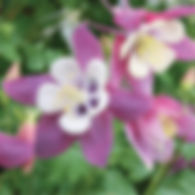 Aquilegia Songbird Nightingale - Columbi