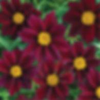 Coreopsis Mercury Rising - Tickseed.jpg