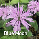 Monarda Blue Moon - Bee Balm.jpeg