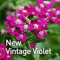 Achillea m. New Vintage Violet - Yarrow.