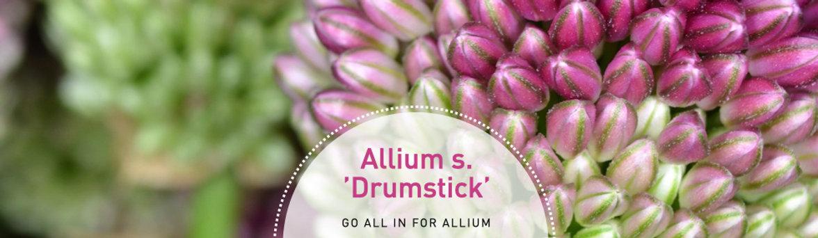 Allium s. Drumstick - Ornamental Onion.j