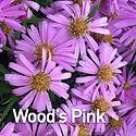 Aster Wood's Pink - Michaelmas Daisy.jpe