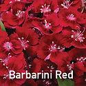 Dianthus Barbarini Red - Pinks