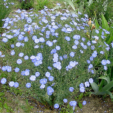 Linum p. Sapphire - Flax