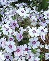 Phlox sub. North Hills - Creeping Phlox