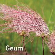 Geum triforum - Prairie Smoke