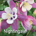 Aquilegia Songbird Nightingale - Columbine