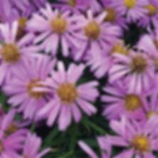 Aster Woods Pink - Michaelmas Daisy.jpg