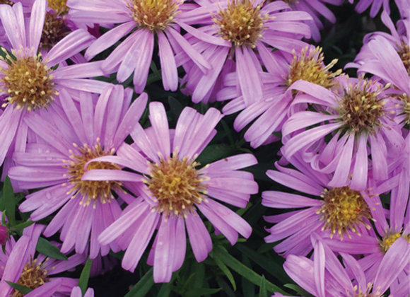 Aster d. 'Wood's Pink'
