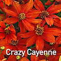 Coreopsis Sizzle & Spice Crazy Cayenne -