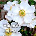 Anemone Honorine Jobert - Windflower.jpe