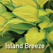 Hosta Island Breeze