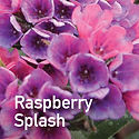 Pulmonaria Raspberry Splash - Lungwort