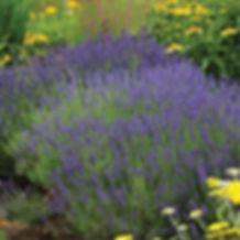 Lavandula a. Hidecote - English Lavender