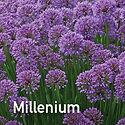 Allium Millenium - 2018 Perennial of the Year