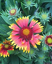 Gaillardia Goblin - Blanket Flower