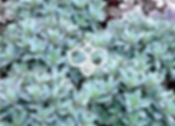 sedum marina - stonecrop.png