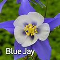 Aquilegia c. Songbird Blue Jay - Columbi