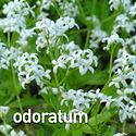 Galium odoratum - Sweet Woodruff.jpeg