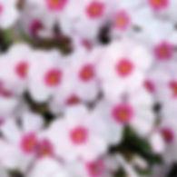 Phlox sub. Coral Eye - Creeping Phlox.jp