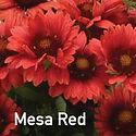 Gailladia Mesa Red - Blanket Flower.