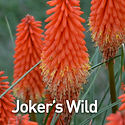 Kniphofia Joker's Wild - Red Hot Poker.j