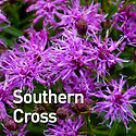 Vernonia Southern Cross - Iron Weed.jpeg